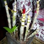 Orchidee Planten