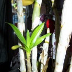 Orchidee verzorgen Afbeeldingen 7
