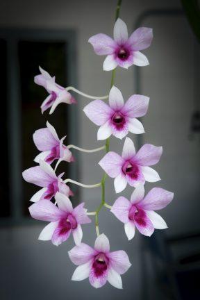 Orchidee kwekerij