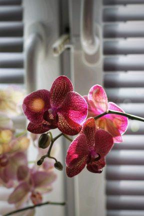 orchidee snoeien