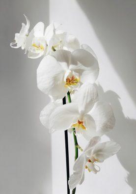 orchidee verzorgen