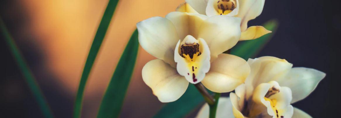 orchidee verzorgen foto