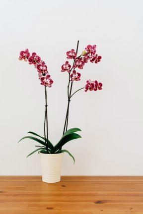 orchidee verzorgen voeding geven
